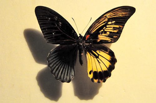 Butterfly Rare